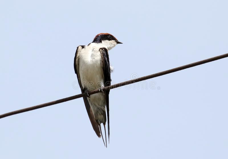 Wire tailed swallow royalty free stock image