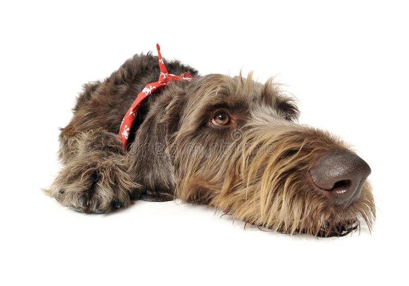 Wired hair german pointer lying in white studio. Wired hair german pointer lying in a white studio royalty free stock image