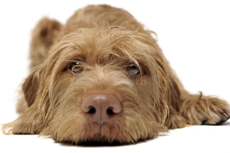 Wired hair hungarian vizsla relaxing in a white photo studio. Head down royalty free stock image