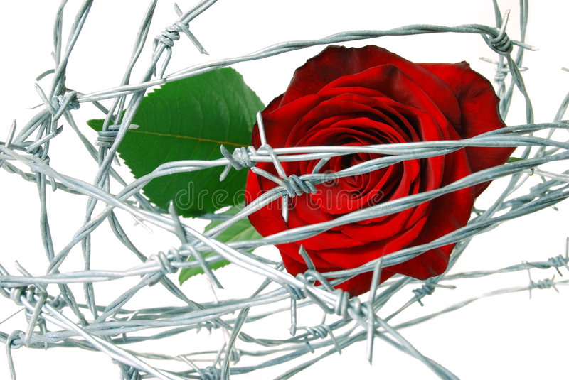 Wired rose royalty free stock photography
