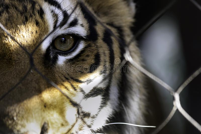 Wired. Tiger stares out from the wire cage with one eye stock image