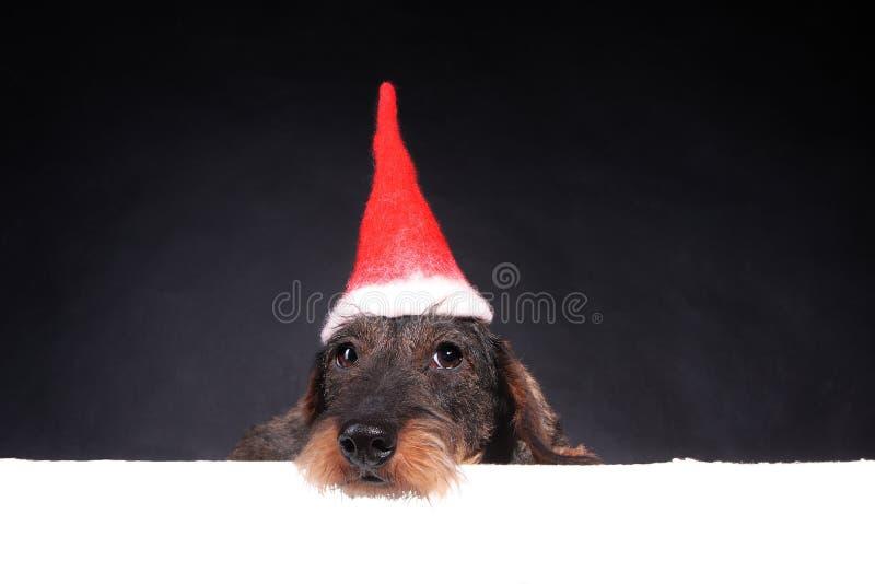 Wirehair-Dachshund in der roten Kappe für Weihnachten lizenzfreie stockbilder
