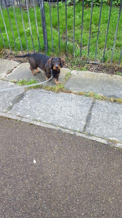Wirehaired dachshund στοκ φωτογραφίες