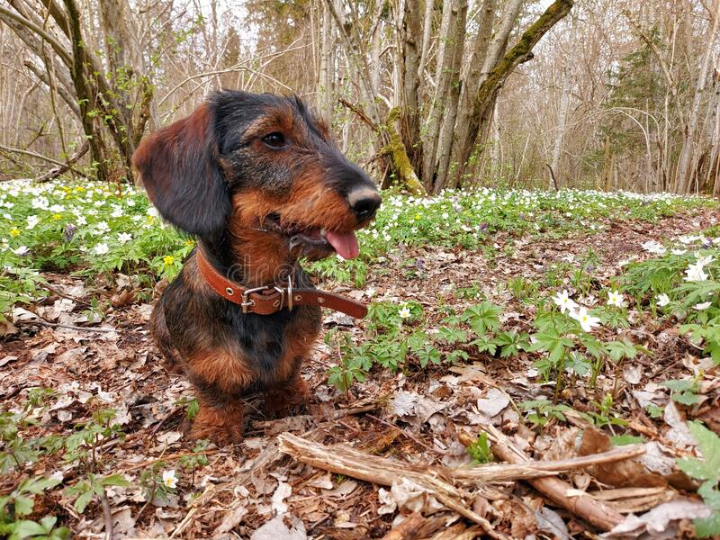 Wirehaired dachshund stock image