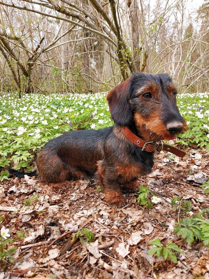 Wirehaired dachshund stock photos