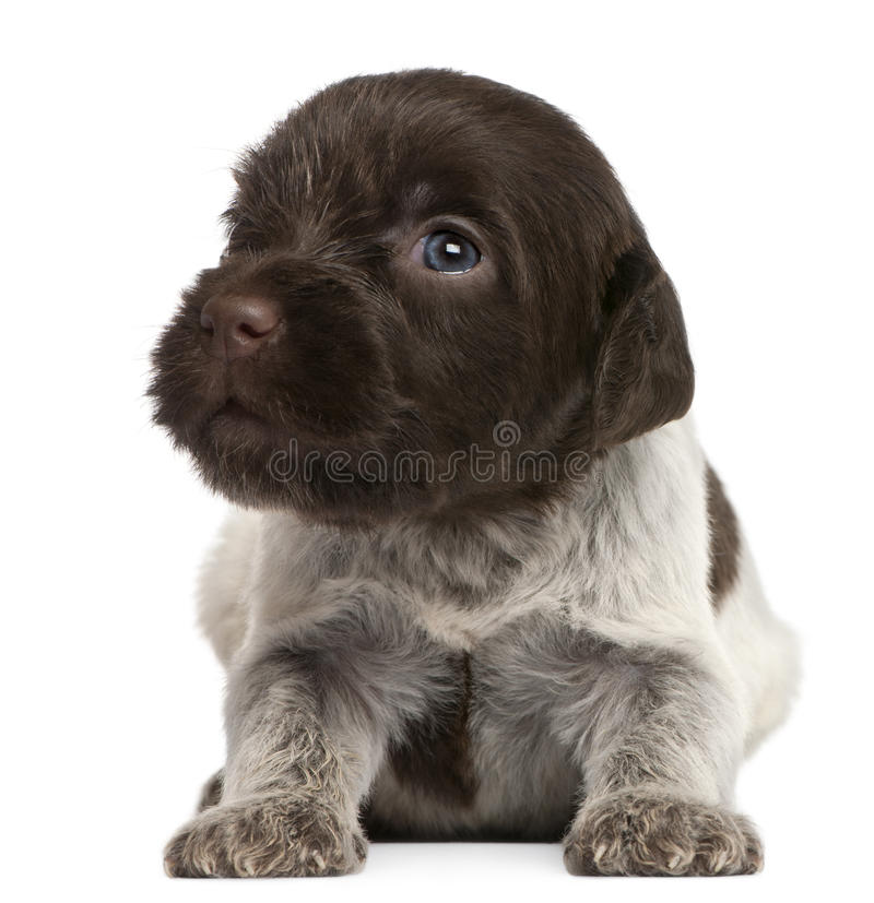 Wirehaired Pointing Griffon puppy, 1 month old royalty free stock image