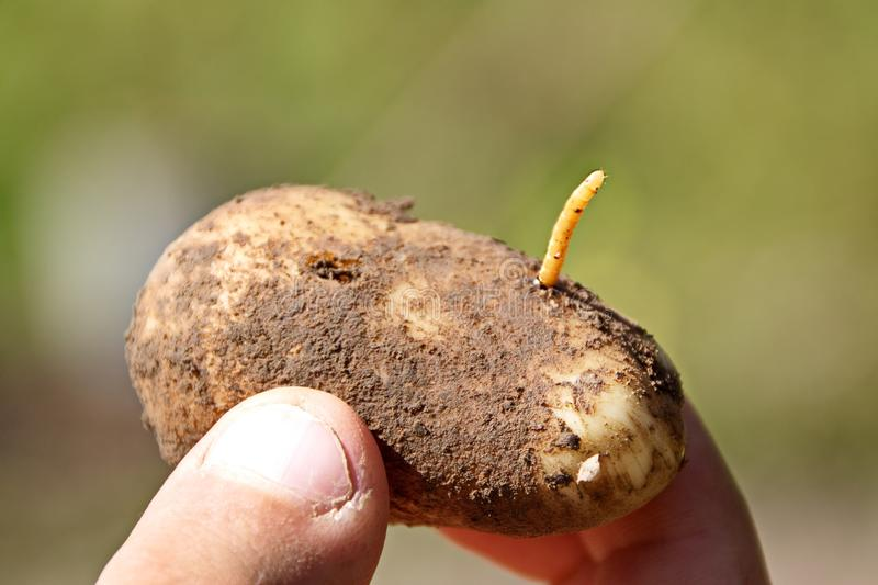 The wireworm is the larva of a beetle of the click beetle on potatoes closeup. The wireworm is the larva of a beetle of the click beetle on potato closeup of a royalty free stock images