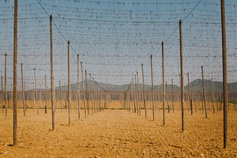 Wiring and wooden pillars - field of young hops - Slovakia during spring. stock photography