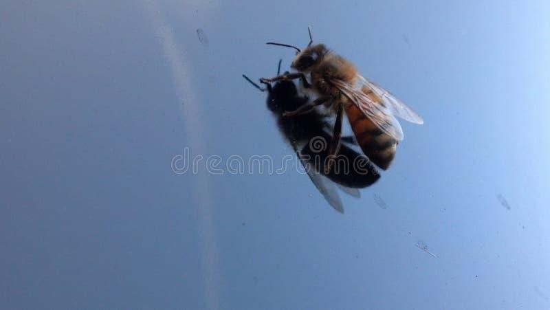 Wirkliche Bienenliebe stockbilder