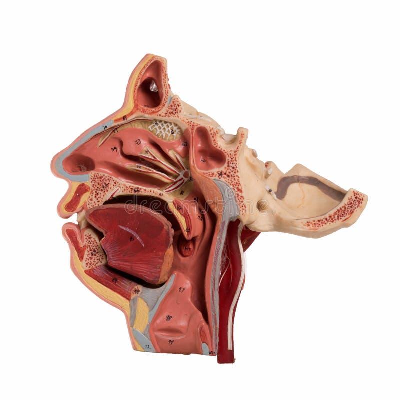 Wirkliche Menschliches Gesichts-Anatomie Stockfoto - Bild von ...