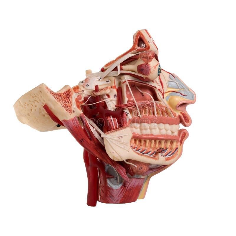 Wirkliche Menschliches Gesichts-Anatomie Stockfoto - Bild von render ...