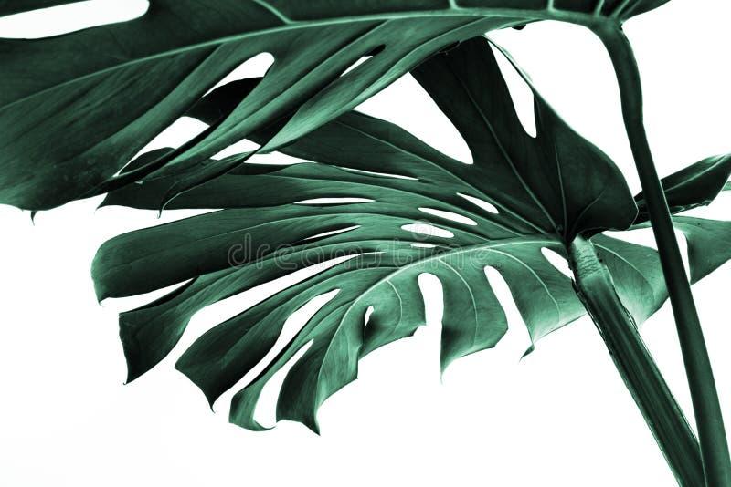 Wirkliche monstera Blätter, die für Zusammensetzungsdesign verzieren Tropisch, lizenzfreie stockbilder