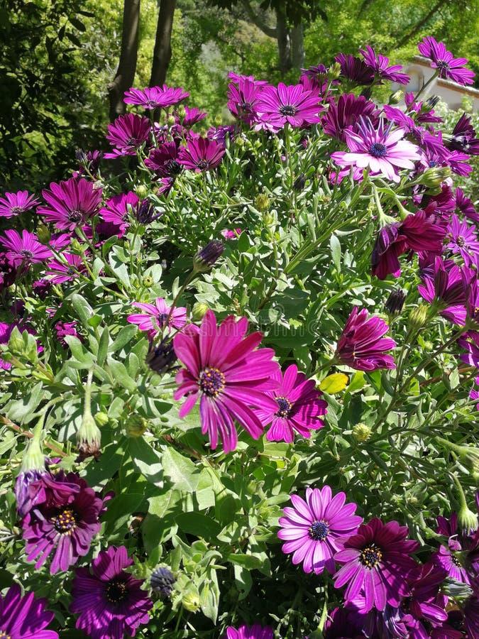 Wirkliche wilde lila Blumen stockfoto