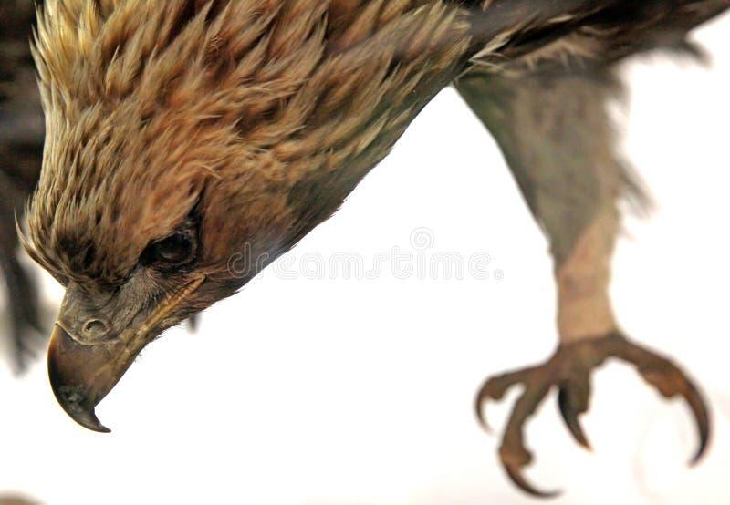 Wirklicher angefüllter Adler stockbilder