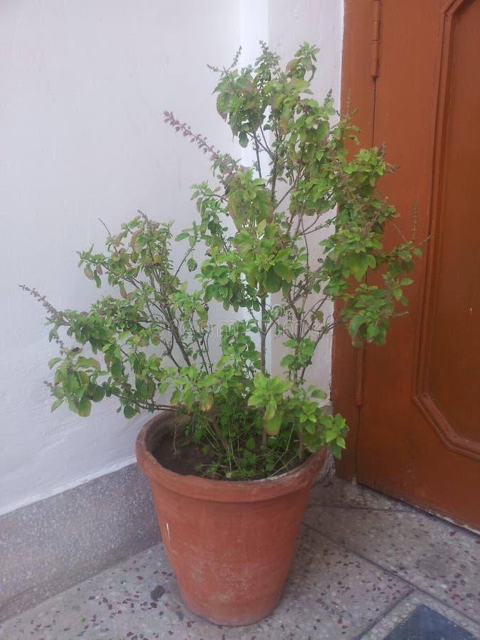 Wirklicher Baum Tulsi von in Indien lizenzfreie stockbilder