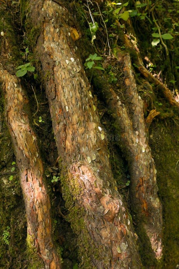 Wirkliches Geld des Geldbaums auf wirklichem Baum lizenzfreies stockbild