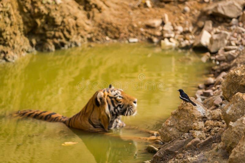 Wirkliches Nachbarnationaltier von Tiger Indiens Bengal und von nationalem Vogel des orientalischen Elsterrotkehlchens Bangladesc lizenzfreies stockbild
