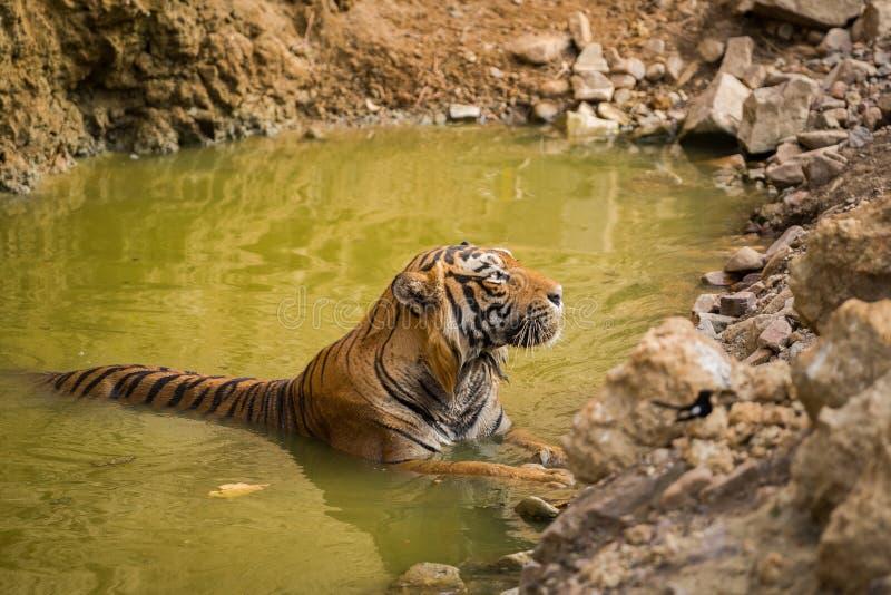 Wirkliches Nachbarnationaltier von Tiger Indiens Bengal und von nationalem Vogel des orientalischen Elsterrotkehlchens Bangladesc lizenzfreie stockfotografie