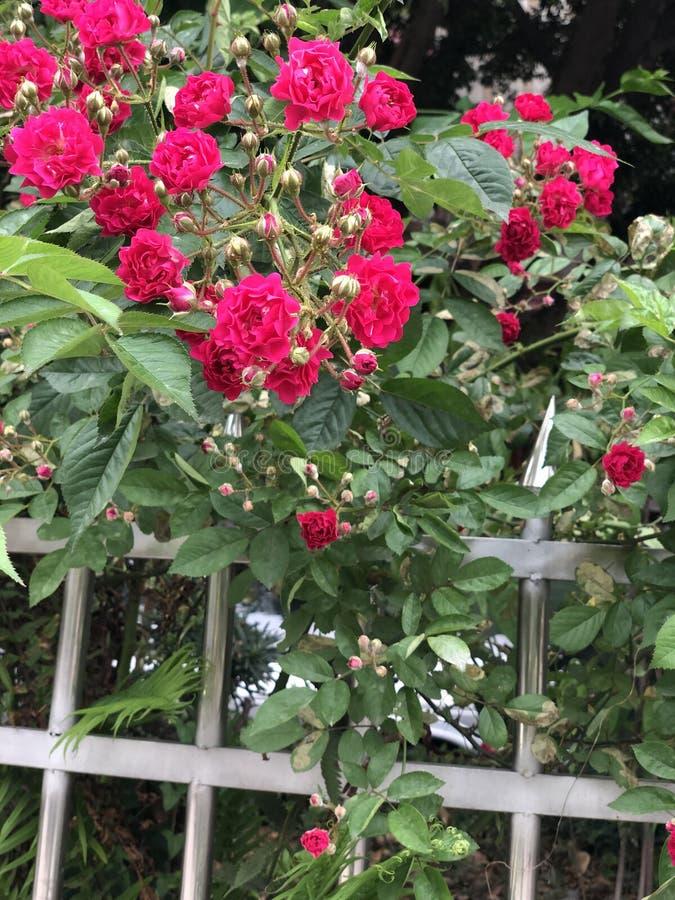 Wirkliches Schuss roseSmall rote Blume außerhalb des Eisengeländers lizenzfreies stockbild