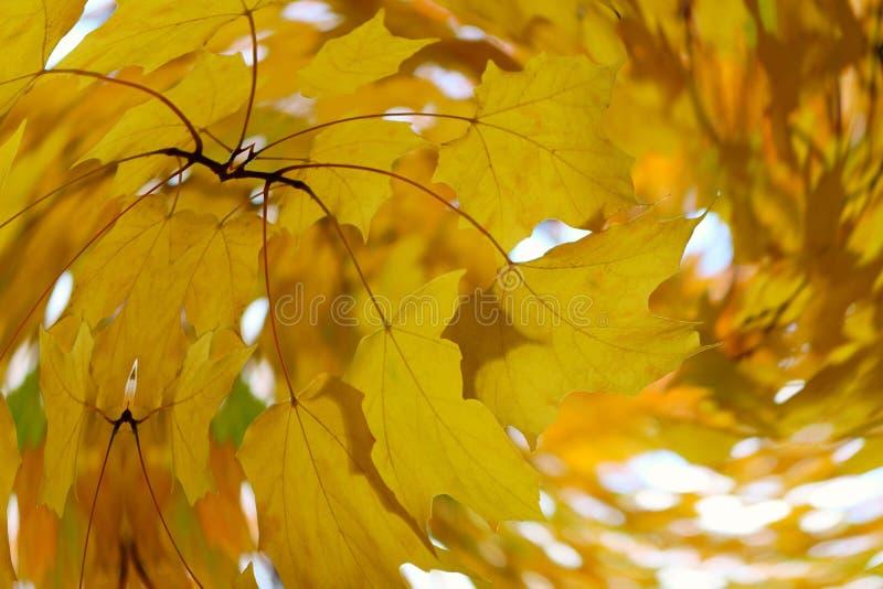Wirujący yelow pomarańczowi liście klonowi w jesieni fotografia stock