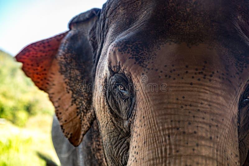 Wise elephant feeding in thailand royalty free stock image