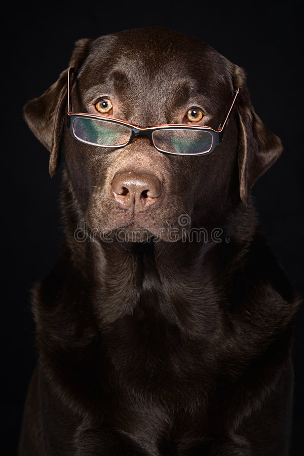 Wise and Intelligent Looking Chocolate Labrador. Shot of a Wise and Intelligent Looking Chocolate Labrador stock photo