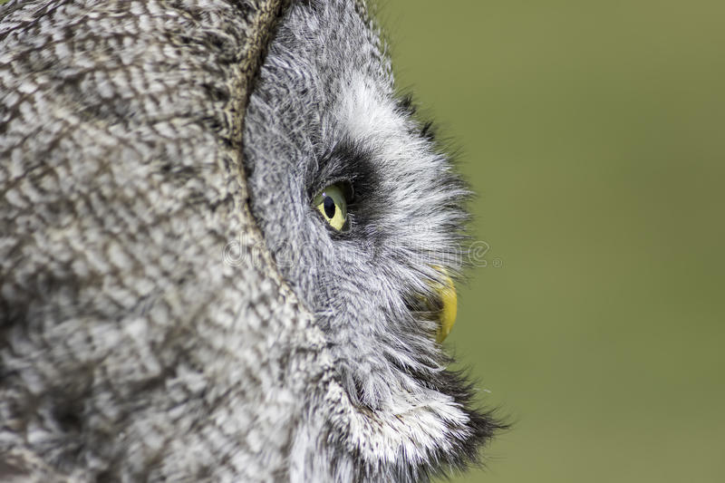 Wise old owl contemplation stock photos