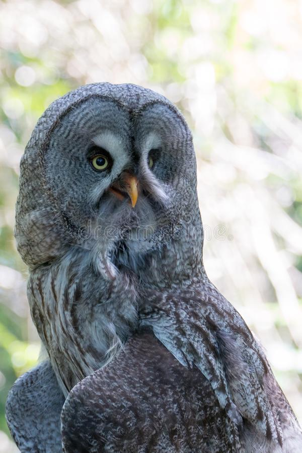 Wise Old Owl with Feather in Beak stock photos