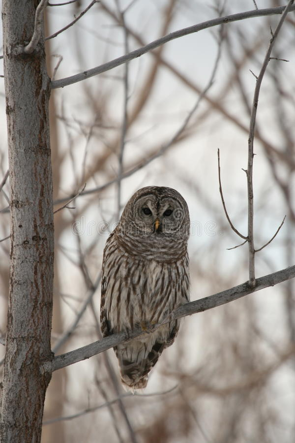 wise owl in tree stock photo image of deciduous 12255790