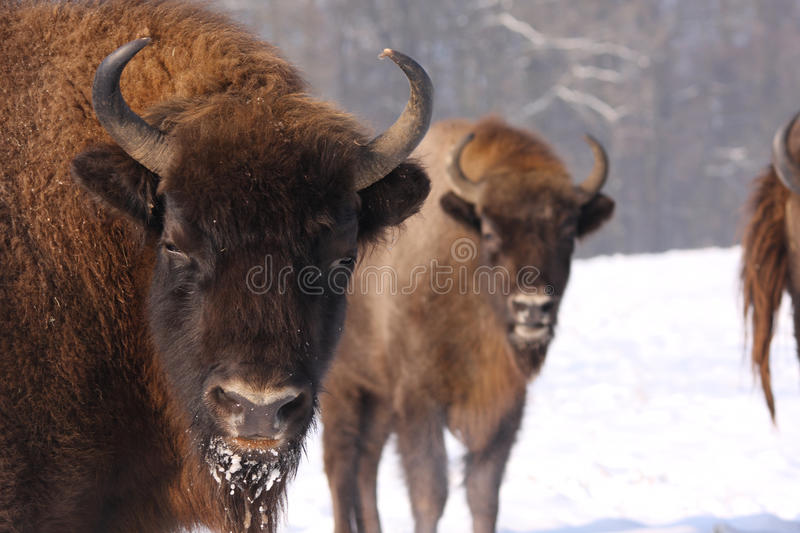 Wisent photographie stock