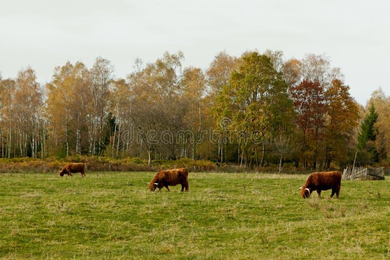 Wisent, Europejski drewniany żubr, Ardens, Wallonia, Belgia fotografia stock