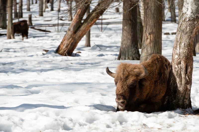Wisents eurasiens sauvages de bisons dans la forêt d'hiver image libre de droits
