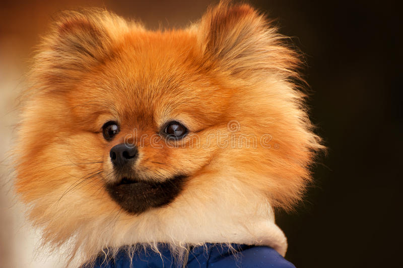 The wisful spitz,dog,puppy is looking into the distance with a serious look. This portarit made in warm colours. The wisful spitz,dog,puppy is looking into the royalty free stock photos