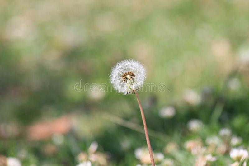 Wish flower Dandelion in outdoors royalty free stock photos
