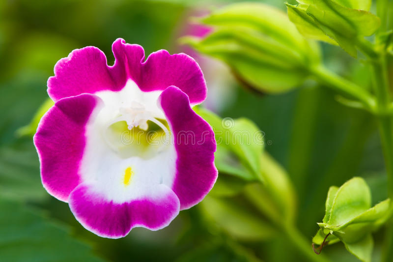 Wishbone flower. Small Wishbone flower, or Bluewings royalty free stock image