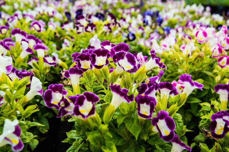 Wishbone flower, Bluewings, Torenia backgroung. Wishbone flower, Bluewings, Torenia natural beauty and colorful splendor stock photo