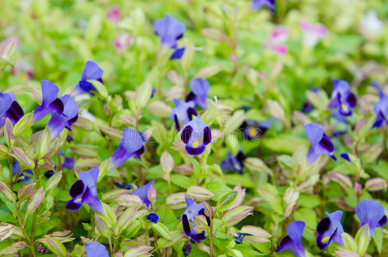 Wishbone flower, Bluewings, Torenia. Beautiful flower in garden royalty free stock images