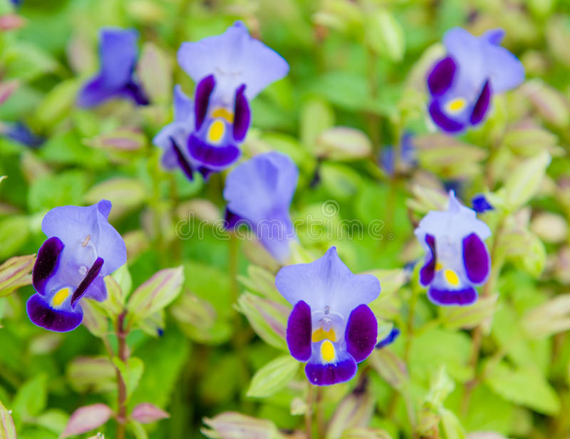 Wishbone flower, Bluewings, Torenia. Beautiful flower in garden royalty free stock photos
