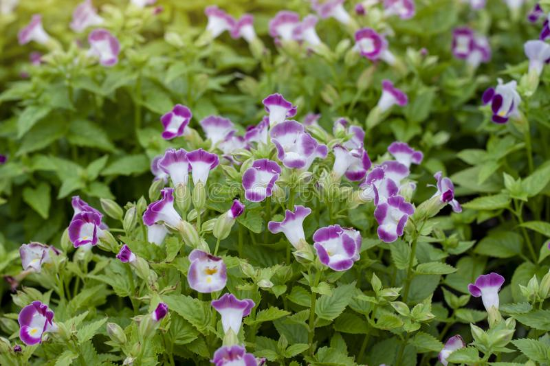 Wishbone flower, Bluewings or Torenia flower in the garden. Wishbone flower, Bluewings or Torenia flower bloom with sunlight in the garden stock photos