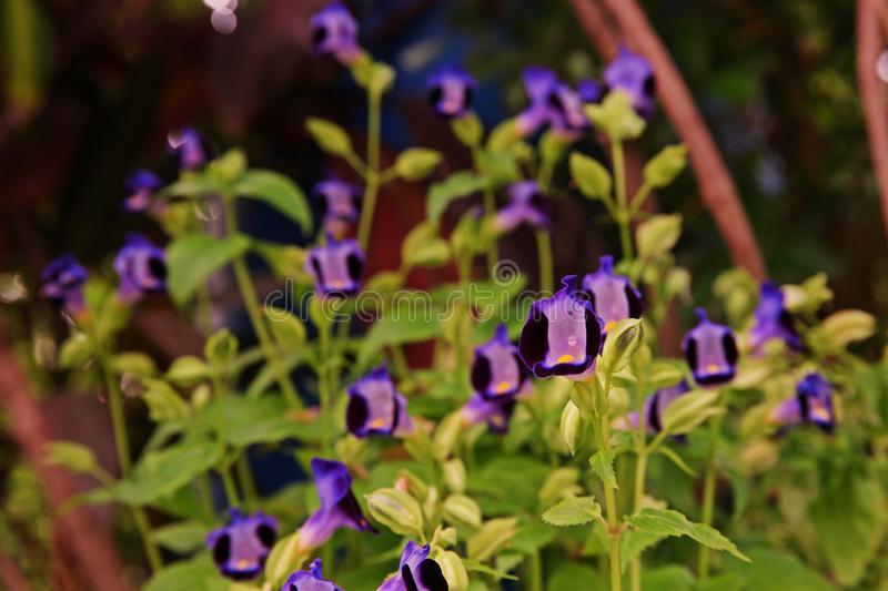Wishbone flower, Bluewings or Torenia, its flowers. Wishbone flower, Bluewings or Torenia, annual flowers plant for house decoration and house garden decoration stock image