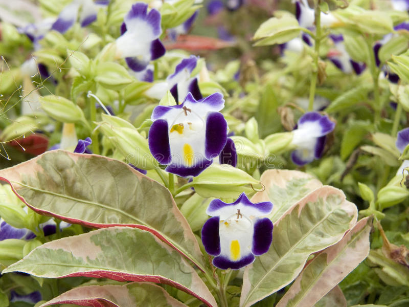 Wishbone flower. Close up group of Wishbone flower, Bluewings, Torenia or Torenia fournieri Lindl. ex Fourn. Beautiful cute flower and green leaves stock photos