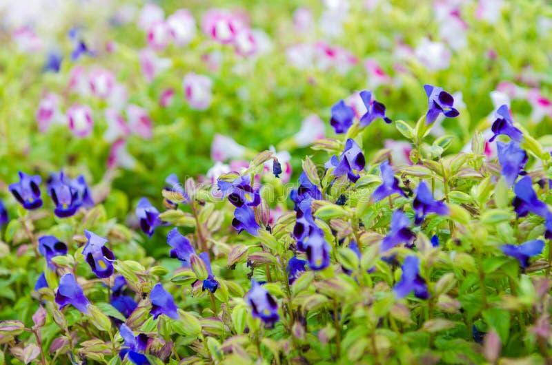 Wishbone kwiat, Bluewings, Torenia zdjęcia stock