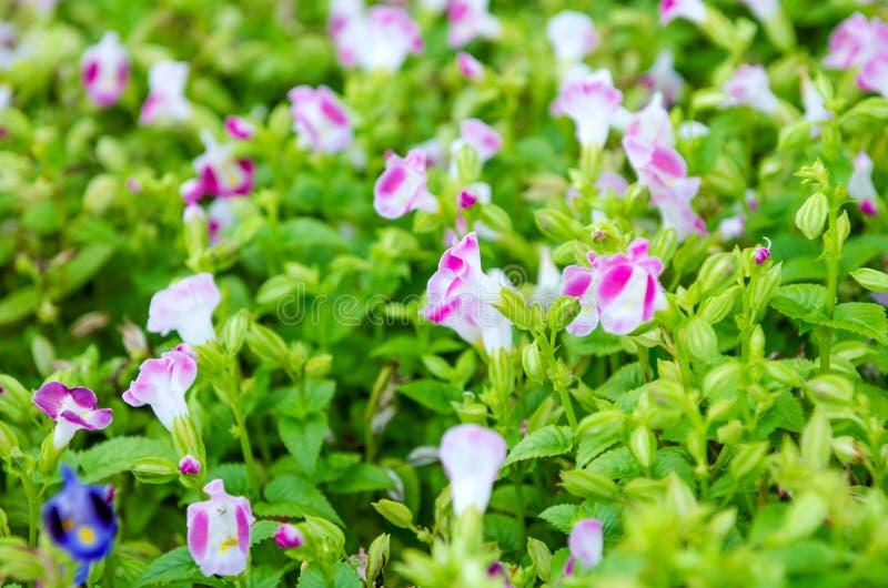 Wishbone kwiat, Bluewings, Torenia fotografia royalty free