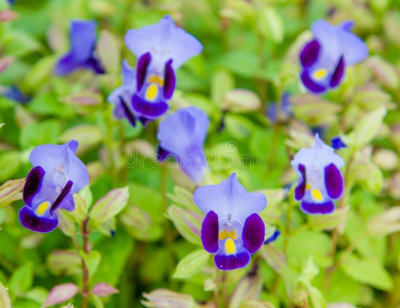 Wishbone kwiat, Bluewings, Torenia zdjęcia royalty free