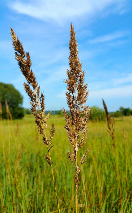 Wisp and grassy field. With the blue sky stock photo