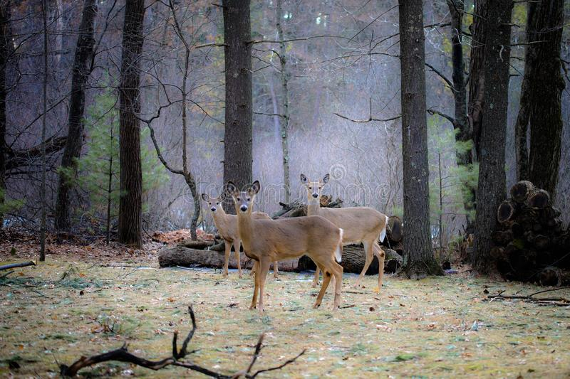Wispering Pines. Deer nature mystical royalty free stock photos