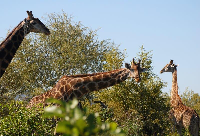 Wissbegierige Giraffe stockfotos