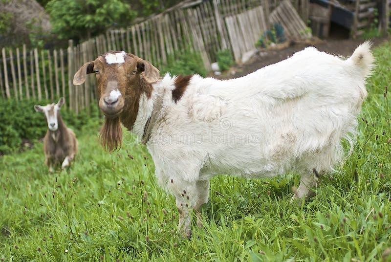 Wissbegierige Ziegen stockfotos