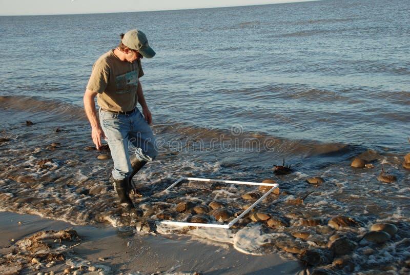 Wissenschaftler, der Gruppe Pfeilschwanzkrebse im Wasser auf Kitts-Hügel eine Delaware-Bucht-Küstenlinie zählt stockfotos