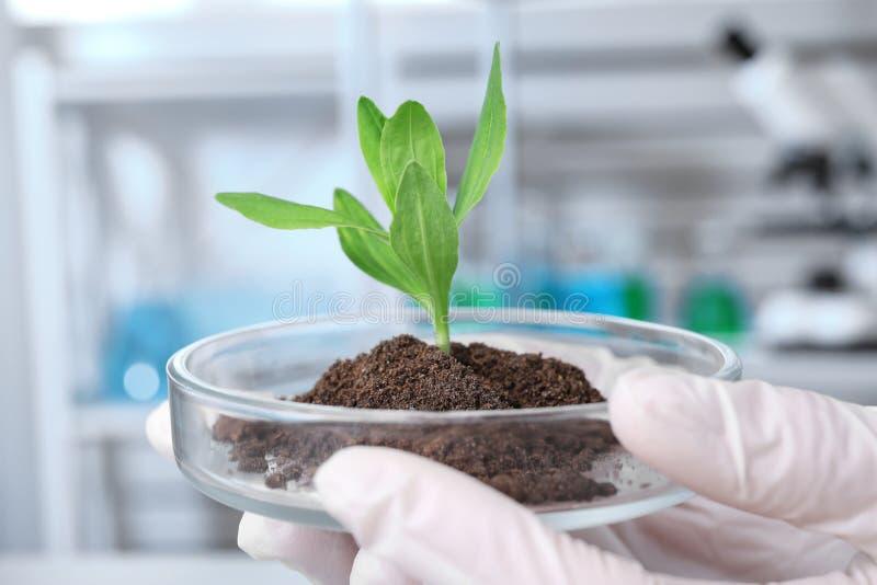 Wissenschaftler, der Petrischale mit Grünpflanze im Labor hält Biochemie stockbilder